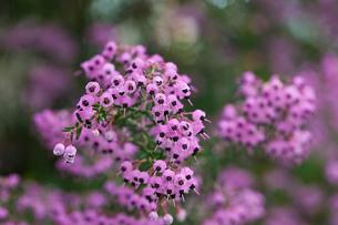 flower(Erica)_06の写真素材 [FYI00444954]