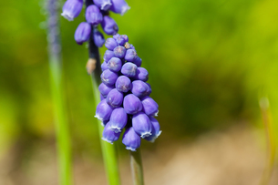 flower(Rosmarinus_officinalis)_06の写真素材 [FYI00444956]