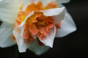 flower(Narcissus_tazetta)_35の写真素材 [FYI00444961]