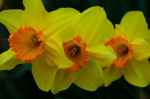 flower(Narcissus_tazetta)_25の写真素材 [FYI00444971]