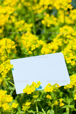 letter[rape_blossoms]_001の写真素材 [FYI00445070]
