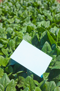 letter[spinach]_001の写真素材 [FYI00445078]