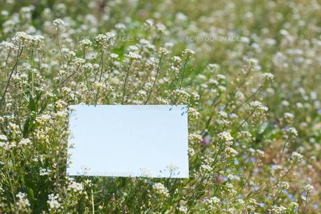 letter[shepherd's_purse]_003の写真素材 [FYI00445079]