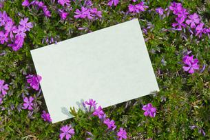 letter[verbena_tenera]_003の写真素材 [FYI00445089]