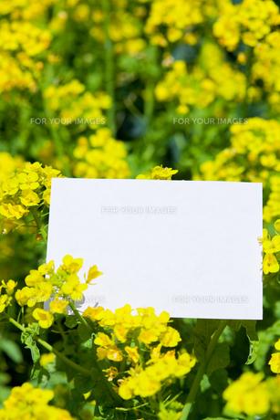 letter[rape_blossoms]_005の写真素材 [FYI00445096]