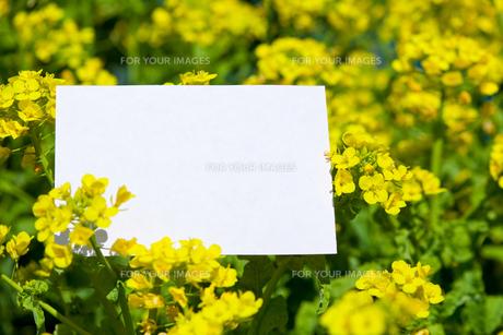 letter[rape_blossoms]_004の写真素材 [FYI00445097]