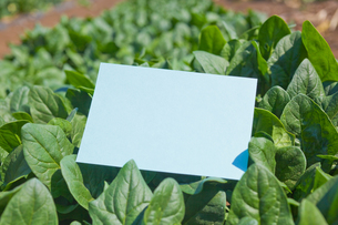 letter[spinach]_005の写真素材 [FYI00445098]