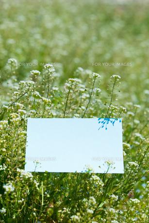letter[shepherd's_purse]_005の写真素材 [FYI00445102]
