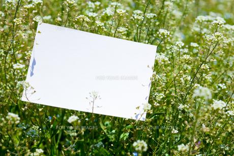 letter[shepherd's_purse]_009の写真素材 [FYI00445105]