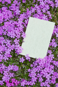 letter[verbena_tenera]_007の写真素材 [FYI00445110]