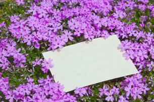 letter[verbena_tenera]_009の写真素材 [FYI00445112]