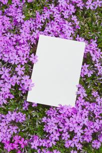 letter[verbena_tenera]_014の写真素材 [FYI00445117]
