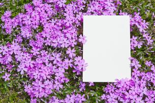 letter[verbena_tenera]_013の写真素材 [FYI00445118]