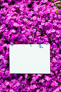letter[verbena_tenera]_028の写真素材 [FYI00445126]