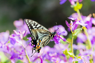 insect[swallowtail]_01の写真素材 [FYI00445205]