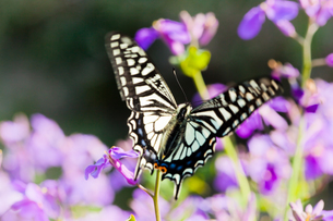 insect[swallowtail]_03の写真素材 [FYI00445206]