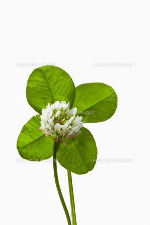 clover4_40の素材 [FYI00445261]