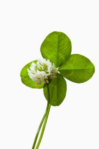 clover4_41の素材 [FYI00445268]