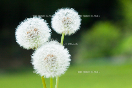 flower[dandelion]_20の素材 [FYI00445315]