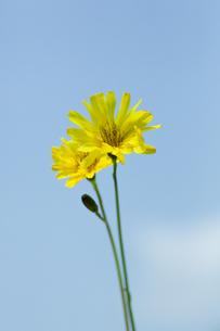 flower[creeping]_07の写真素材 [FYI00445329]
