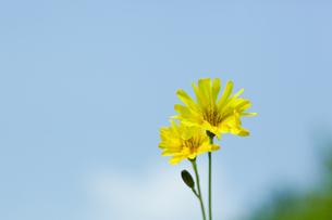 flower[creeping]_08の写真素材 [FYI00445330]