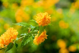 flower[kerria]_02の写真素材 [FYI00445352]