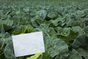 letter[cabbage]_06の写真素材 [FYI00445490]
