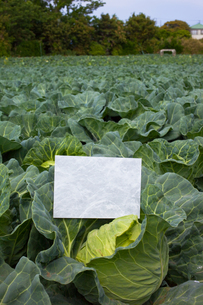 letter[cabbage]_15の写真素材 [FYI00445512]
