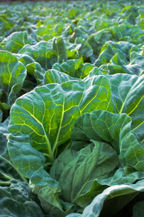 background[cabbage_field]_16の写真素材 [FYI00445554]