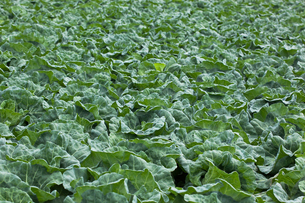 background[cabbage_field]_02の写真素材 [FYI00445555]