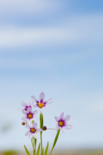 flower[annual_blue-eyed_grass]_10の写真素材 [FYI00445562]