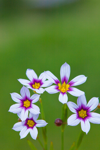 flower[annual_blue-eyed_grass]_07の写真素材 [FYI00445570]