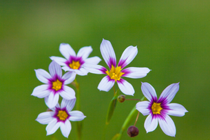 flower[annual_blue-eyed_grass]_05の写真素材 [FYI00445571]