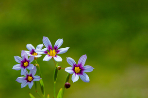 flower[annual_blue-eyed_grass]_01の写真素材 [FYI00445572]