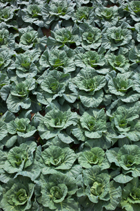 background[cabbage_field]_11の写真素材 [FYI00445573]