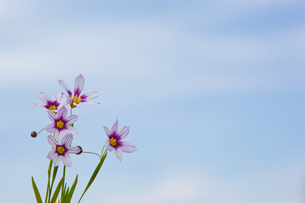 flower[annual_blue-eyed_grass]_11の写真素材 [FYI00445577]