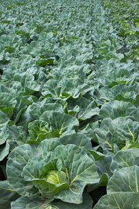 background[cabbage_field]_03の写真素材 [FYI00445581]