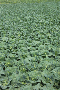 background[cabbage_field]_05の写真素材 [FYI00445582]