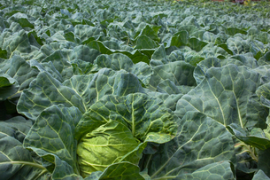 background[cabbage_field]_06の写真素材 [FYI00445583]