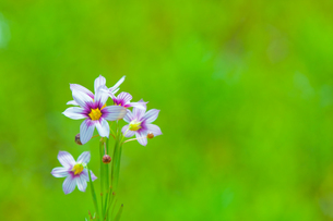 flower[annual_blue-eyed_grass]_17の写真素材 [FYI00445588]