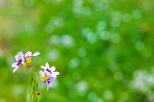 flower[annual_blue-eyed_grass]_14の写真素材 [FYI00445591]
