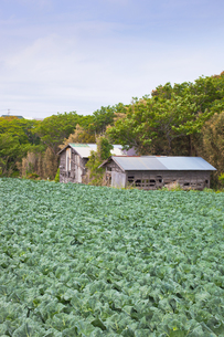 Japanese_scenery[cabbage_field]_02の写真素材 [FYI00445600]