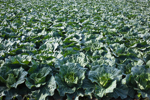 background[cabbage_field]_18の写真素材 [FYI00445611]
