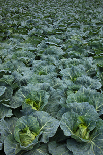background[cabbage_field]_22の写真素材 [FYI00445615]