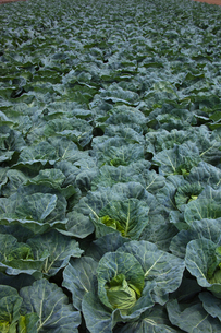 background[cabbage_field]_21の写真素材 [FYI00445621]