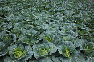background[cabbage_field]_17の写真素材 [FYI00445623]