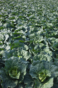 background[cabbage_field]_19の写真素材 [FYI00445628]