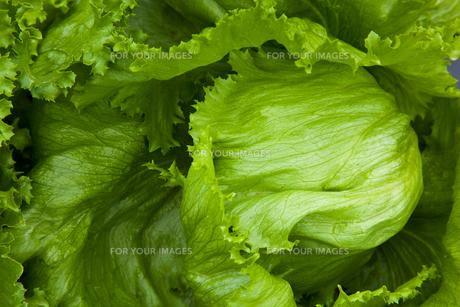 background[lettuce]_01の素材 [FYI00445647]
