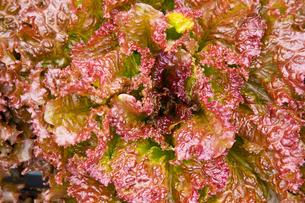 background[lettuce]_02の写真素材 [FYI00445662]