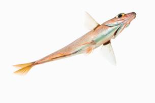 fish[Surfperch]_015の写真素材 [FYI00445665]